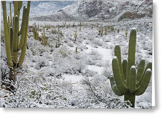 Saguaro Cactus In A Desert Greeting Card by Panoramic Images