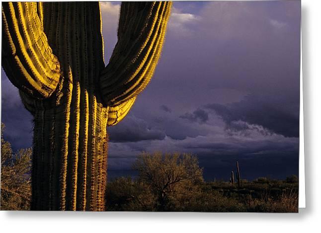 Saguaro Cactus Sunset At Dusk Arizona State Usa Greeting Card