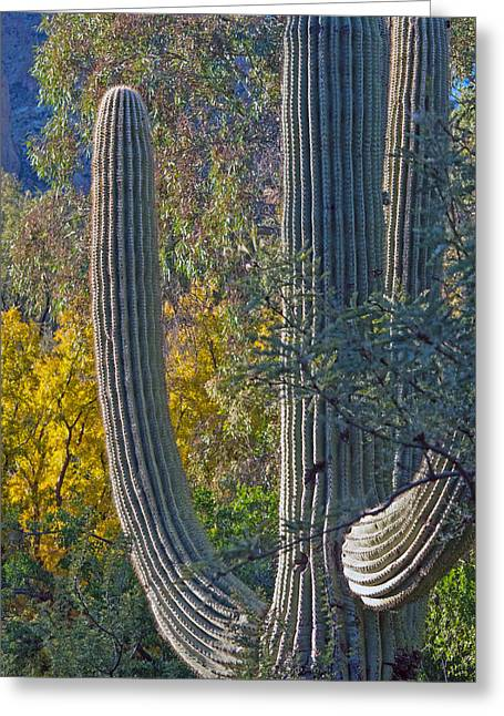 Saguaro Fall Color Greeting Card by Tam Ryan