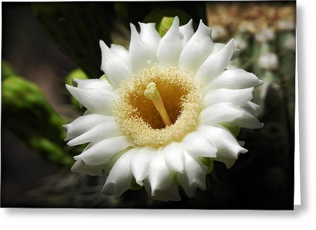 Saguaro Flower  Greeting Card by Saija  Lehtonen