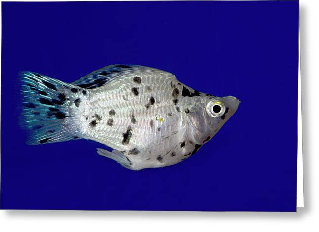 Sailfin Molly Greeting Card by Nigel Downer