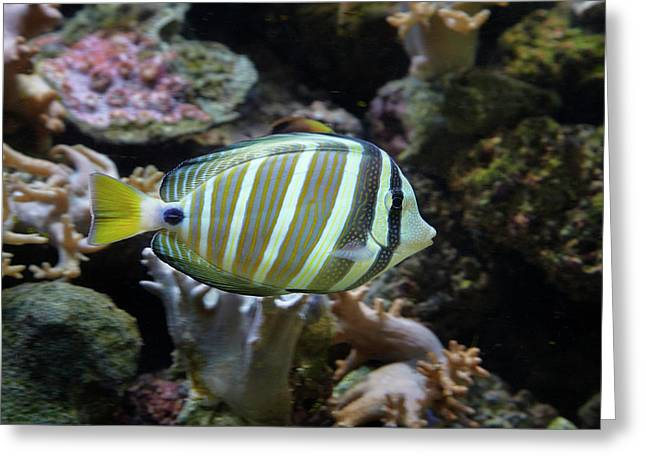 Sailfin Tang (zebrasoma Veliferum Greeting Card