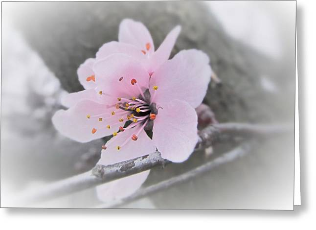 Sakura Blossom Greeting Card by Marianna Mills