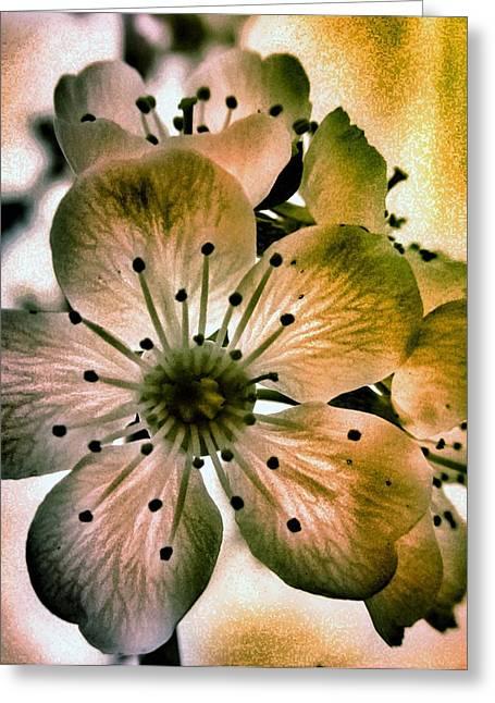 Sakura - Cherry Blossom Greeting Card by Marianna Mills