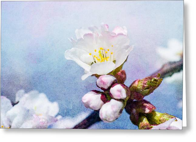 Sakura Flower Greeting Card by Alexander Senin