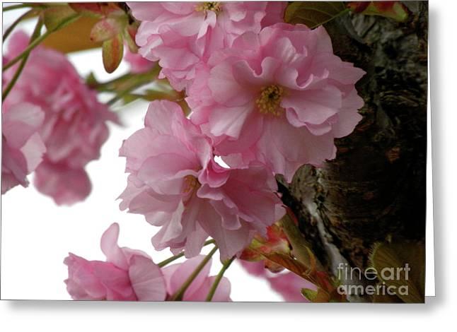 Sakura Greeting Card by Laura Yamada