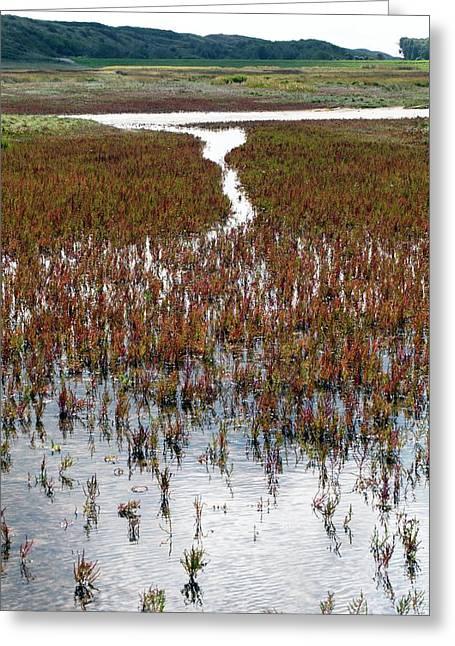 Salicornia On Salt Marsh Greeting Card by Dirk Wiersma