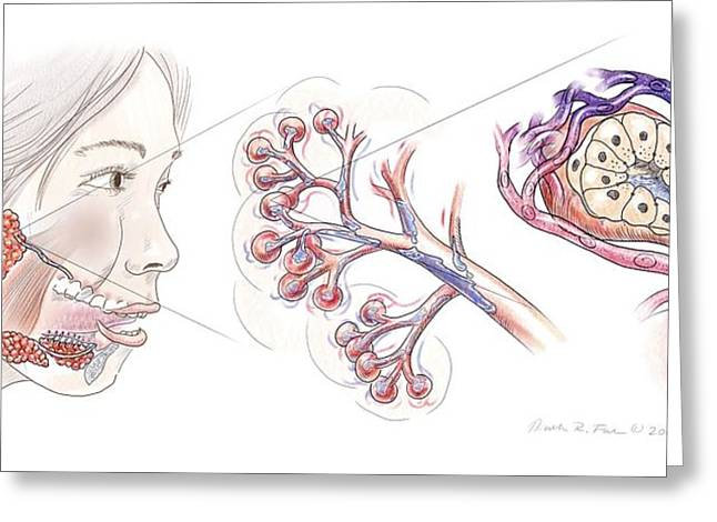 Salivary Gland Anatomy Greeting Card by Nicolle R. Fuller