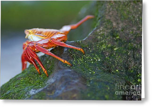 Sally Lightfoot Crab On Rock Greeting Card by Sami Sarkis