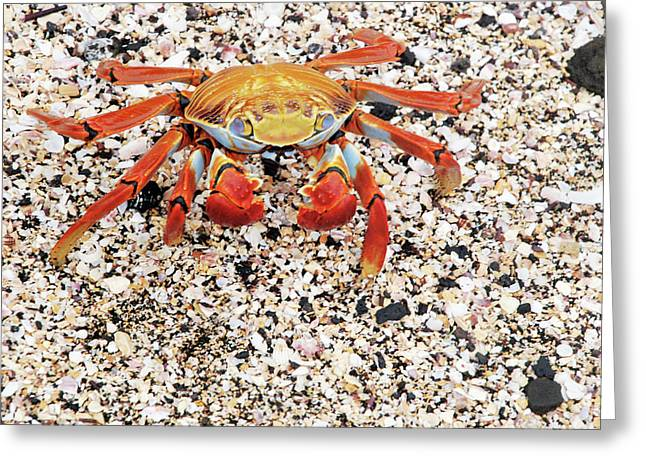 Sally Lightfoot Crab Greeting Card by Sue Ford/science Photo Library
