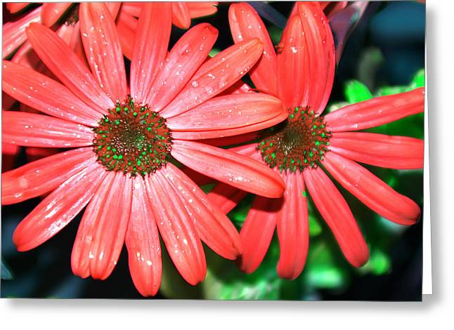 Salmon Daisy Greeting Card by Aimee L Maher Photography and Art Visit ALMGallerydotcom