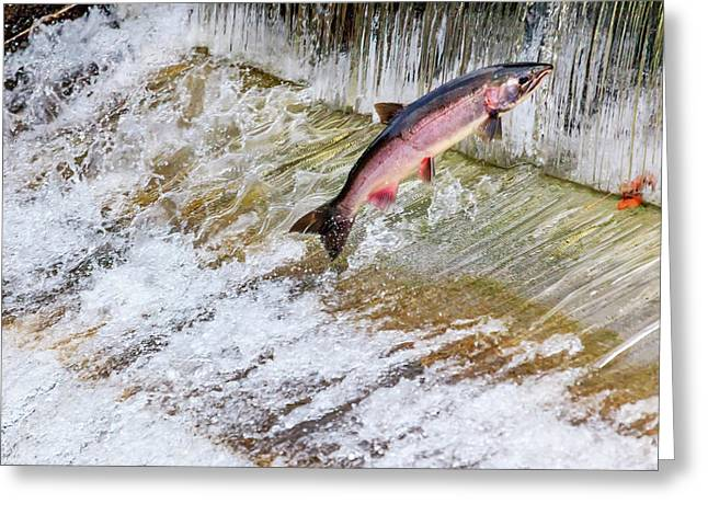 Salmon Jumping Issaquah Hatchery Greeting Card