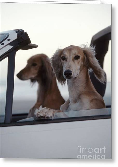 Saluki Dogs In Car Greeting Card by Chris Harvey