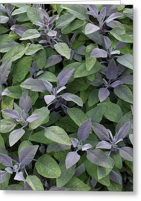 Salvia Officinalis 'purpurascens' Greeting Card