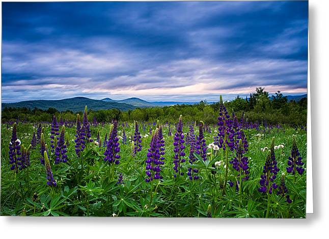 Sampler Field Lupine Greeting Card