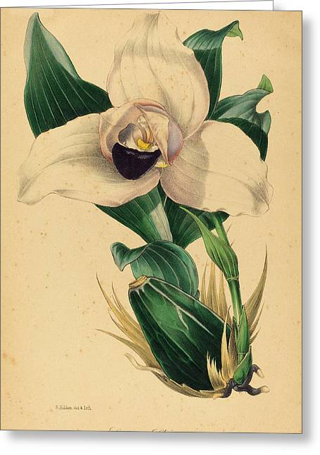 Samuel Holden, Lycaste Skinneri, British Greeting Card