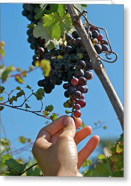 San Carlos, Ibiza, Grapes In San Greeting Card by Nano Calvo