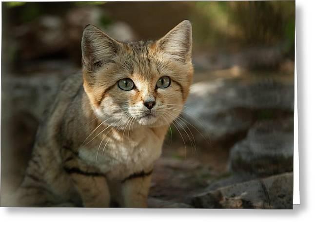 Sand Cat (felis Margarita) Greeting Card by Photostock-israel