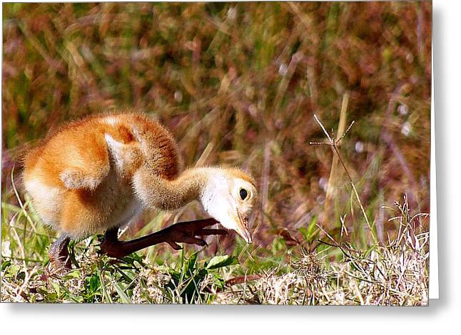 Greeting Card featuring the photograph Sand-hill Chick Scratching  by Chris Mercer