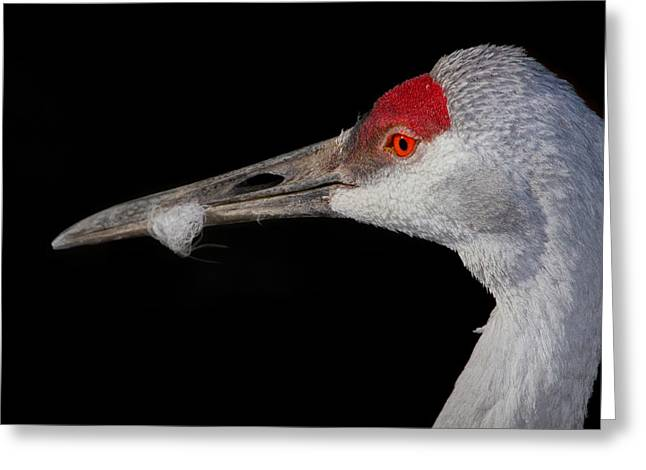 Sand Hill Crane Greeting Card by John Absher