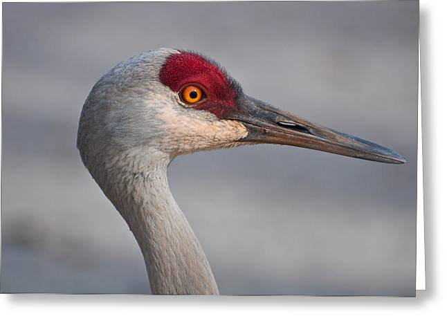 Greeting Card featuring the photograph Sand Hill Crane Portrait by Sabine Edrissi