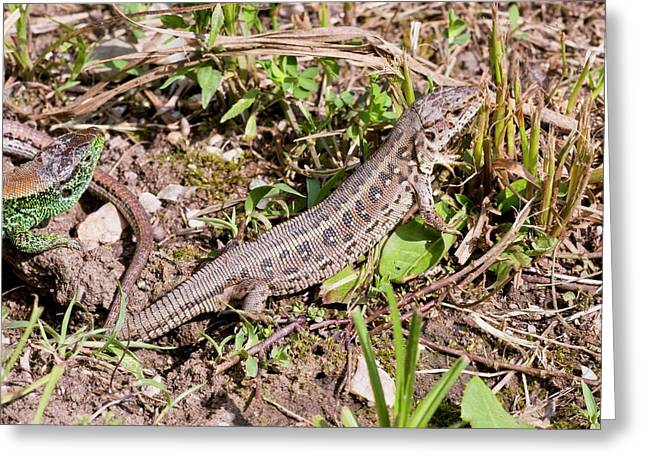 Sand Lizards Courting Greeting Card by Bob Gibbons