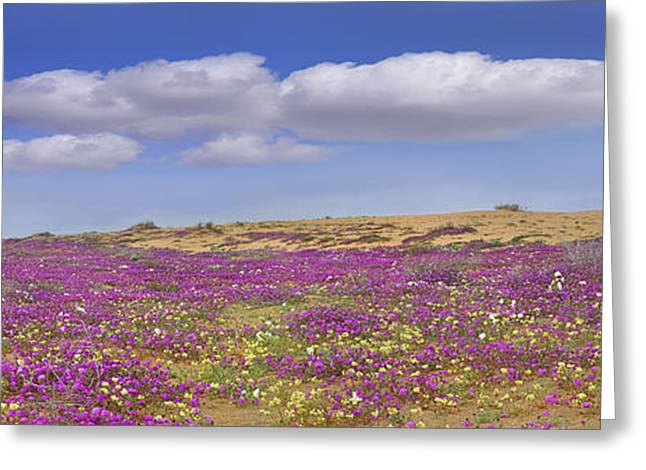 Sand Verbena On The Imperial Sand Dunes Greeting Card by Tim Fitzharris