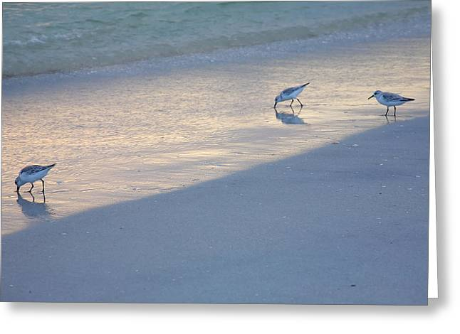Sanderlings At Dusk I  Greeting Card by Steven Ainsworth