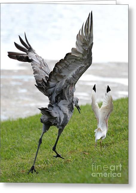 Sandhill Chasing Ibis Greeting Card by Carol Groenen