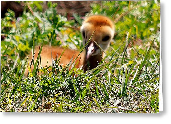 Greeting Card featuring the photograph Sandhill Chick 005 by Chris Mercer