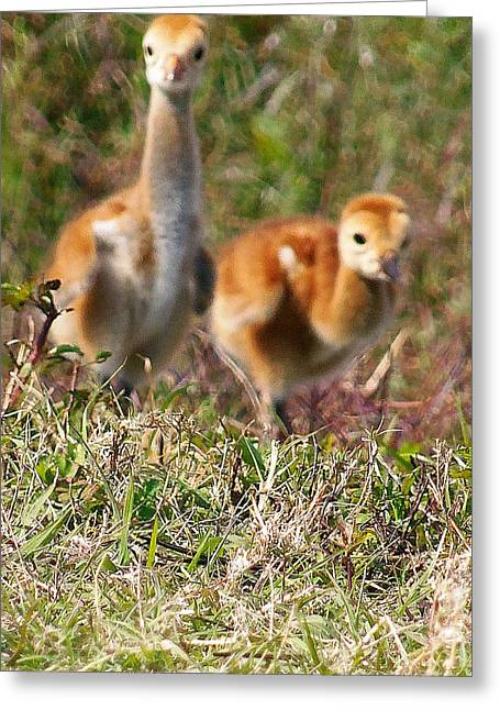 Greeting Card featuring the photograph Sandhill Chicks by Chris Mercer
