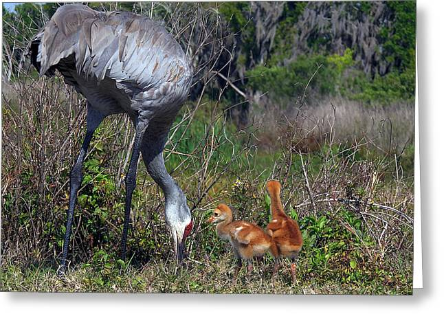Sandhill Crane 033 Greeting Card
