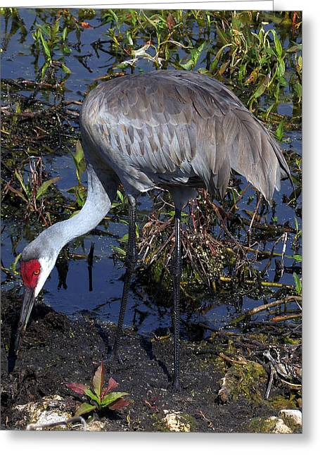 Sandhill Crane 035 Greeting Card