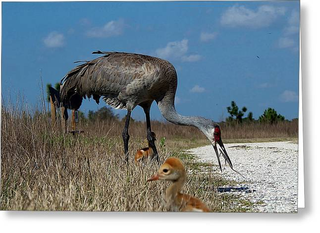 Greeting Card featuring the photograph Sandhill Crane 038 by Chris Mercer