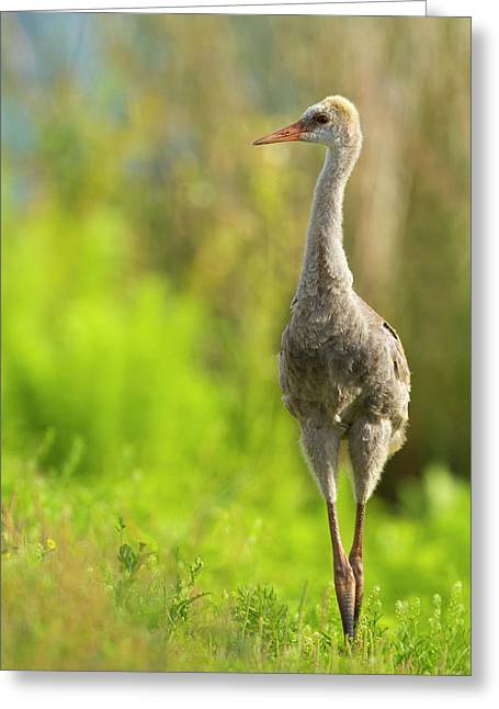 Sandhill Crane Chick, Grus Canadensis Greeting Card