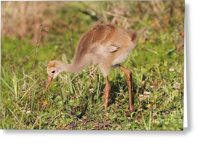 Greeting Card featuring the photograph Sandhill Crane Chick by Jennifer Zelik