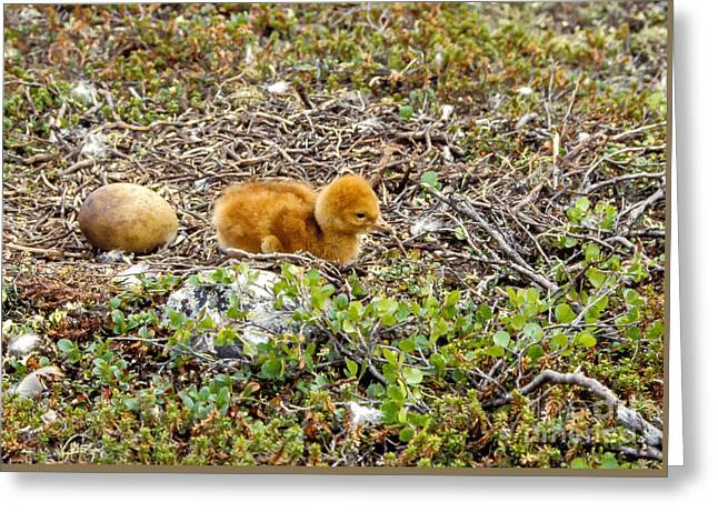Sandhill Crane Chick Greeting Card by Steven Ralser