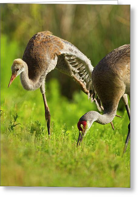 Sandhill Crane Chick Stretching Greeting Card