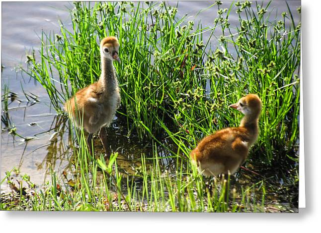 Sandhill Crane Chicks  Greeting Card