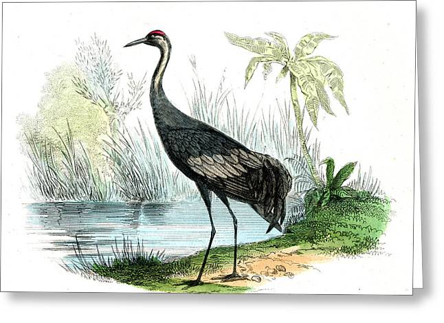 Sandhill Crane Greeting Card by Collection Abecasis