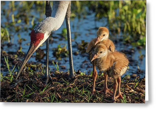 Sandhill Crane Colts On Nest Greeting Card by Maresa Pryor