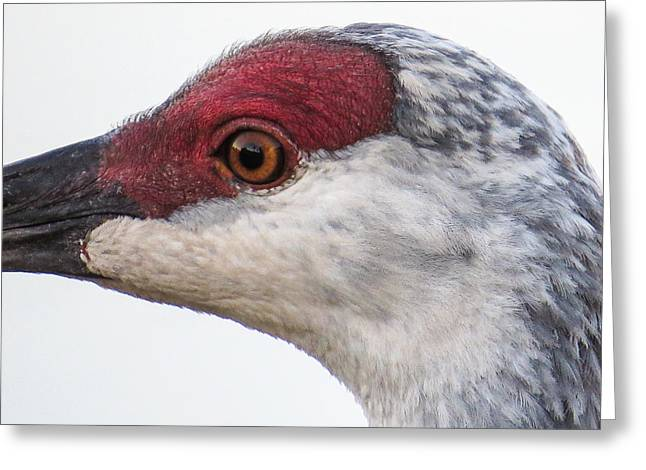 Sandhill Crane Eye Greeting Card by Zina Stromberg