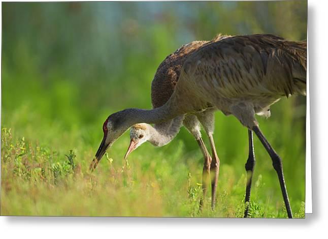 Sandhill Crane Feeding Chick, Grus Greeting Card