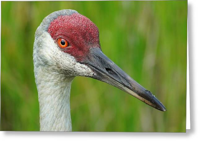 Sandhill Crane Female Close Up Greeting Card by Lynda Dawson-Youngclaus