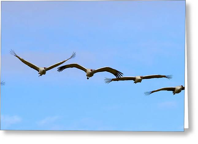 Sandhill Crane Flight Pattern Greeting Card by Mike Dawson