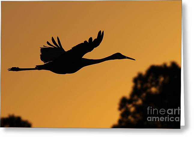 Sandhill Crane In Flight Greeting Card