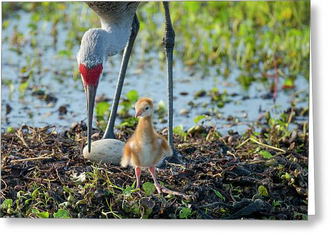 Sandhill Crane Inspecting Second Egg Greeting Card