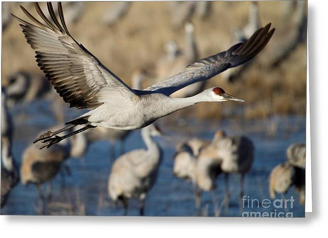 Sandhill Crane Lift Off Greeting Card
