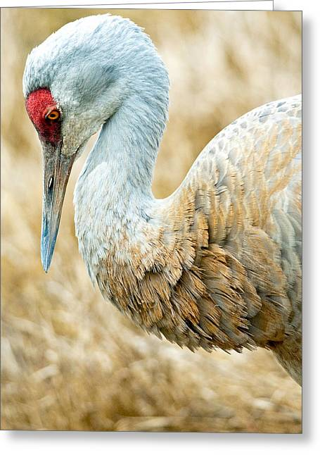 Sandhill Crane Greeting Card by Michele Wright