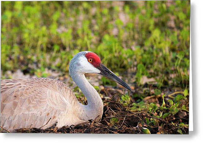 Sandhill Crane On Nest After Sunset Greeting Card